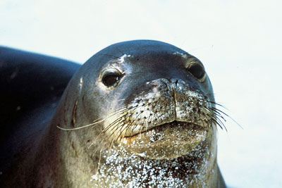 Four seals were tagged in an environmental monitoring programme (photo N3kt0n CC-BY-SA-3.0 via Wikimedia Commons)