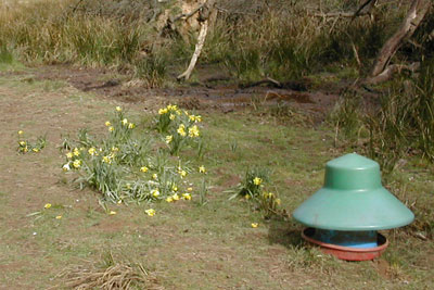 Damage to daffodils at the Farndale SSSI in the North York Moors National Park (photo: Natural England)