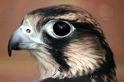 The deaths of two peregrine falcons have been attributed to carbofuran (photo: Keven Law CC-BY-SA-2.0 via Wikimedia Commons)