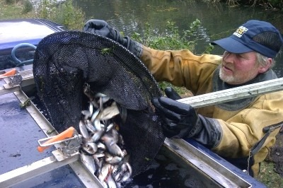 A British Waterways officer assists the recovery of 22,000 fish from a Wolverhampton canal (Credit: Environment Agency)