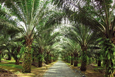 Pamol's palm oil plantations in Sandakan, Malaysia, where sustainable agricultural practices are the norm (photo: Simon Evans)