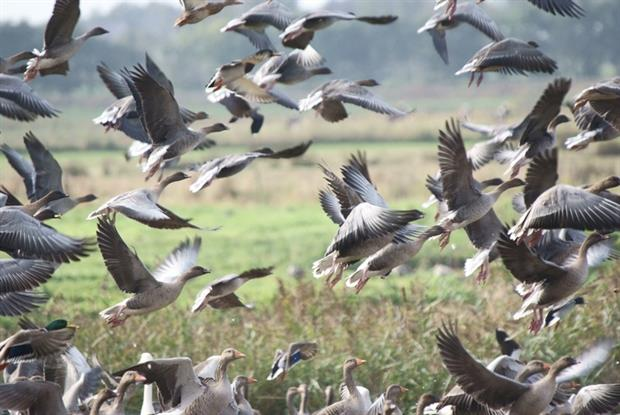 Pink Footed Geese at Martin Mere wildlife reserve (CC BY 2.0 Gidzy)