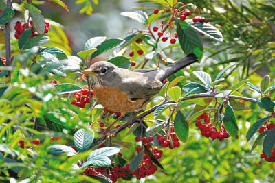 Trimming hedgerows every three years would double the number of flowers and triple the berries for birds and other animals, according to a DEFRA-funded study (photo: Feathered Friends Photography/Alamy)