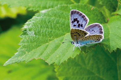 The report points to successes such as the reintroduction of the large blue butterfly (photo: Peter Eeles/Butterfly Conservation)