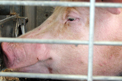 The agency's sector-specific guidance covers intensive pig units and other installations (photo: Jean CC BY 2.0)