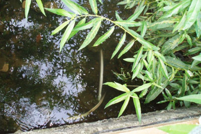 Dead eels in Rivacre brook near Ellesemere Port (photo: Environment Agency)