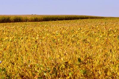 Soya beans are a mayor global commodity (photo: Macomb Paynes CC BY-NC-SA 2.0)