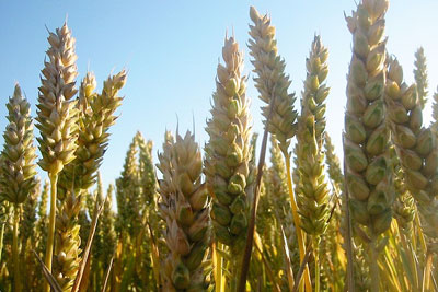 Temporarily suspending EU biofuel rules could reduce a modelled spike in wheat prices (photo Dag Endreson CC BY 2.0)