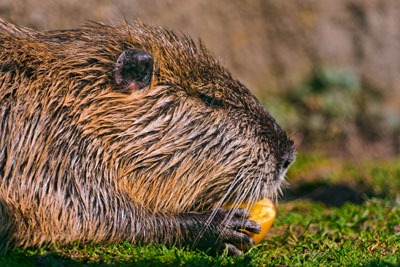 The first order set by Scottish ministers on invasive species includes coypu (photo: Tambako CC BY-ND 2.0)