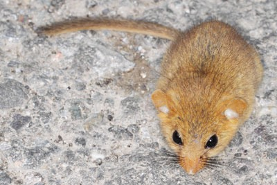 Natural England is charging to screen applications relating to dormice, bats and great crested newts (photo: Gbohne CC BY-SA 2.0)