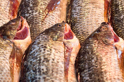 Sales of tilapia have risen dramatically (credit: Clay Irving CC BY-ND 2.0)