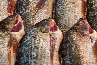 Sainsbury's sales of tilapia rose by 117% last year (credit: Clay Irving CC BY-ND 2.0)