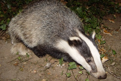 A badger (credit: BadgerHero CCSA-3.0)