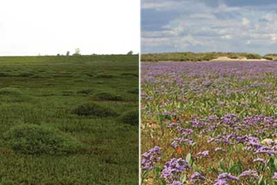 Man-made marsh (left) and natural marsh (right). Credit: Alastair Grant and David CJ White