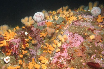 Solan Bank Reef, 50km north of Cape Wrath supports many corals, sponges and brittlestars (photograph: JNCC)