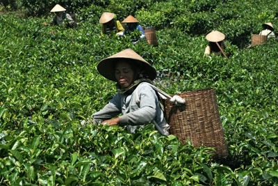 Tea farmers in Indonesia: threatened by competition for land (photgraph: Danilo Mongiello/Dreamstime.com)