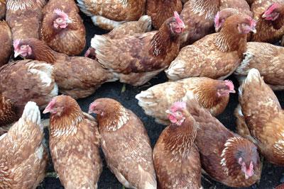 Chickens. Credit: aprilskiver CCA 3A