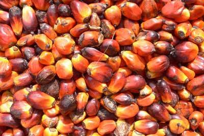 Palm oil fruit. Credit: One Village Initiative