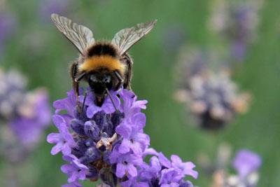 Pesticides Bee. Credit: Karen Roe