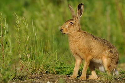 Brown hares are one of the species on the watch list. Credit: Ben Andrew