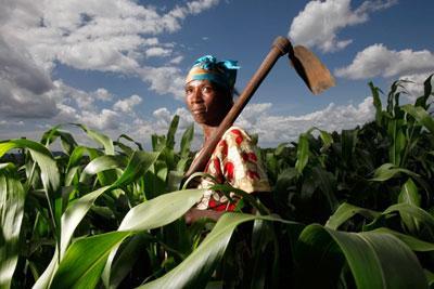 Sorghum farming in Uganda: SABMiller produces beer in several African countries