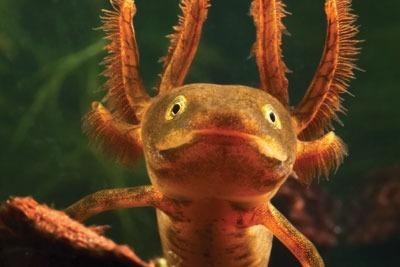 A great crested newt. credit: Dirk Ercken/ Dreamstime.com