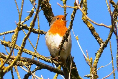 Robin: The RSPB does not think people will want to see wildlife shifted far away (photograph: Brian Robert Marshall, CC by SA 2.0)