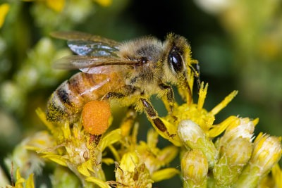 FERA's work helps protect honey bees. Credit: Kevin Cole/ CC BY 2.0