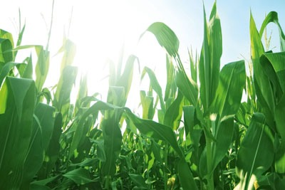 Maize growing in a field. Credit: Bowie15/Dreamstime.com