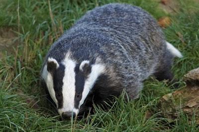 Badger. Credit: Hehaden/ CC BY SA 2.0