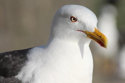 Activities involving lesser black-backed gulls could require a class licence under changes proposed by Natural England (photograph: Estormiz)