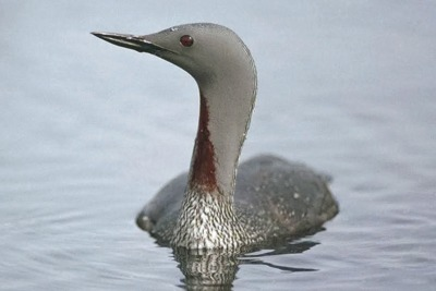 Possible impacts on red-throated divers (pictured) have halted the London Array expansion. Credit: Chris Gomersall/RSPB