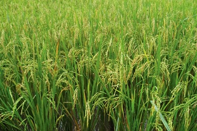 UK rice imports could be affected by water shortages. Credit: Srreal Penguin/CC BY SA 2.0