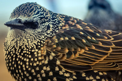 Dutch scientists have shown link between imidacloprid and a decline in insect-eating bird populations such as starlings (photograph: Beverley Goodwin, CC by 2.0)