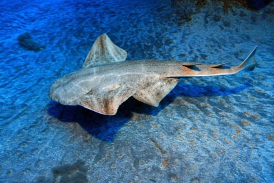 Angel shark (photograph: Aquafun/123RF)