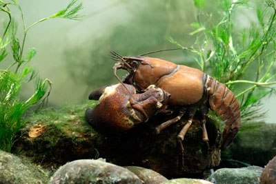 Control of invasive species such as the signal crayfish were among the indicators used to assess progress towards biodiversity goals (photograph: Michael Lane/123RF)