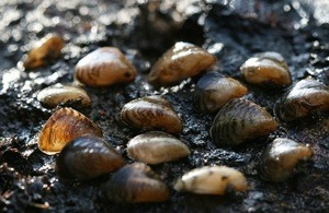 The invasive quagga mussel has been discovered in England for the first time (credit: DEFRA)