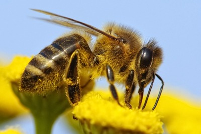 It is widely accepted that neonicotinoids have adverse impacts on honeybee health (photograph: Daniel Purdek/123RF)