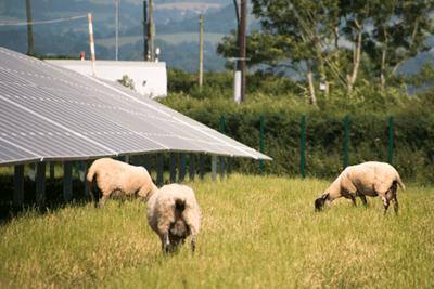 Sheep grazing on land between solar panels at Marley Thatch solar farm in Devon (photograph: Lightsource Renewable Energy)