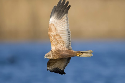 Marsh harriers, which have increased in number, receive a high level of protection across the EU (photograph: RSPB)