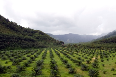 Only 18% of current global palm oil yield is certified by the RSPO as sustainable (photograph: Nirut Joramas)
