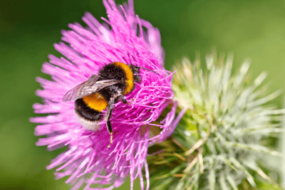 Natural England will stop issuing licences for non-native bumblebees from next year (photograph: sborisov/123RF)