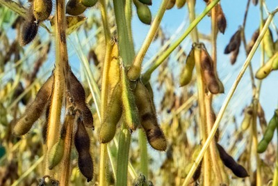 Demand for agricultural crops such as soybeans is driving deforestation