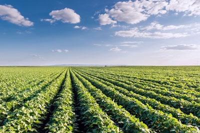 Soy bean field Photo: Dusan Kostic rf123