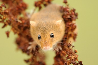 Harvest mouse Photo: Amy Lewis