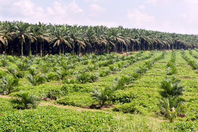 Sustainable palm oil in the UK has increased for the fifth year running (Photo: Kim-Pin-Tat)
