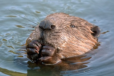 Eurasian beaver (photo: Alaexy Sokolv rf123)