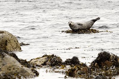 Harbour seal (photograph: David Head/123RF)