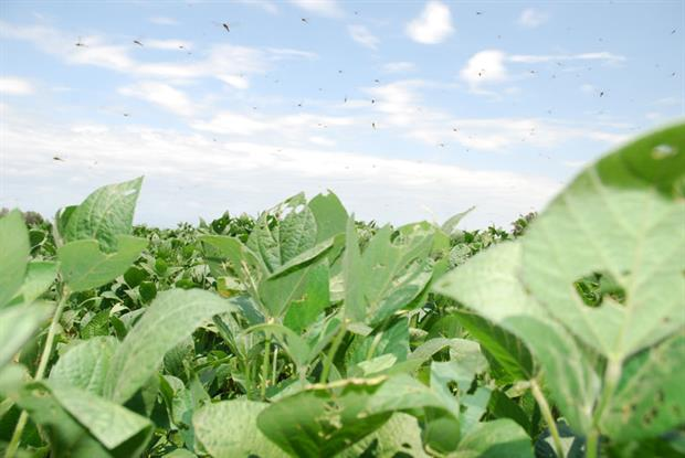 Crops such as soya account for a large proportion of current biofuel production (photograph: Round Table Responsible Soy)