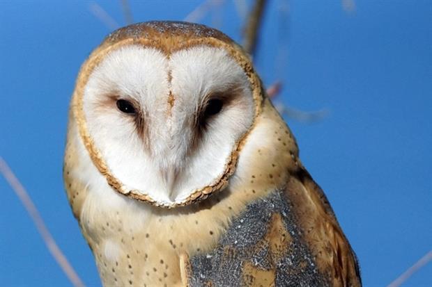 Barn owl (photograph: Randy Feuerstein/123RF)